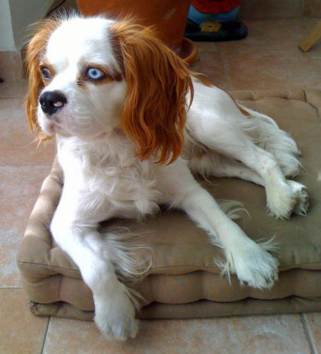 Cashew the Cavalier King Charles Spaniel Pictures 828135