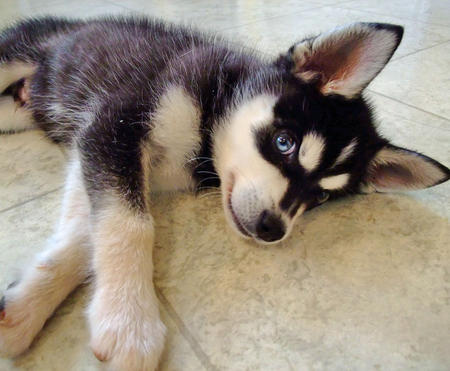 Casper the Alaskan Klee Kai Pictures 615710