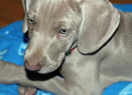 Casper the Weimaraner Pictures 818122