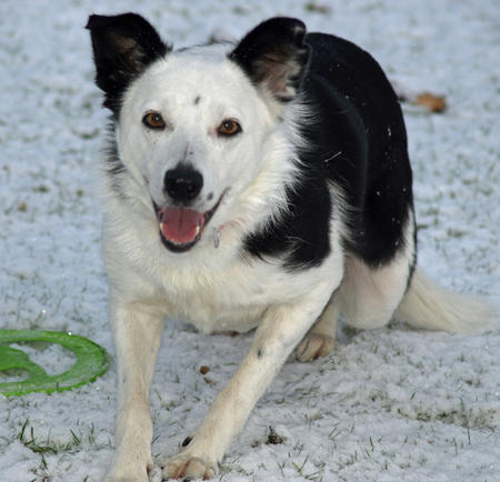 Cassie the Border Collie Mix Pictures 591348