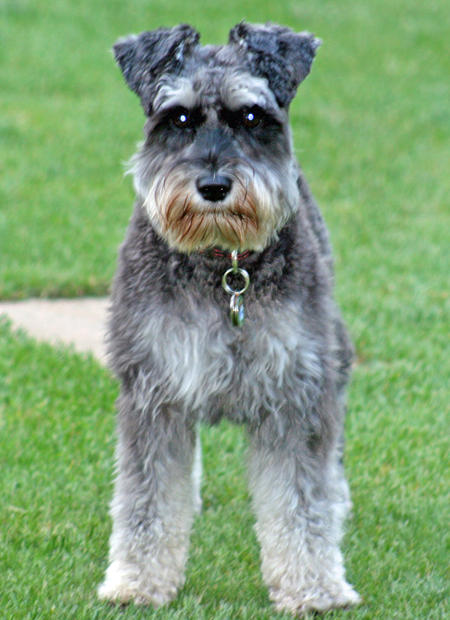 Cassie the Miniature Schnauzer Pictures 796328
