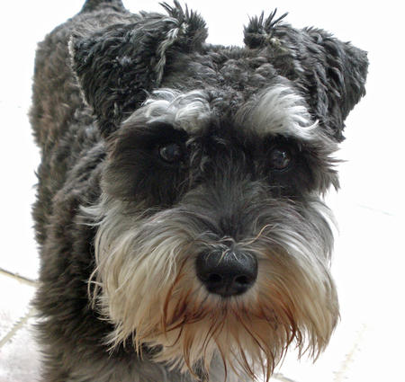 Cassie the Miniature Schnauzer Pictures 796327