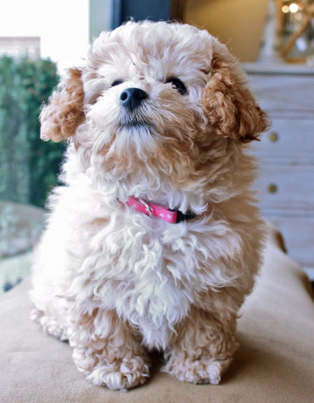 Cecelia the Miniature Poodle Pictures 1035371