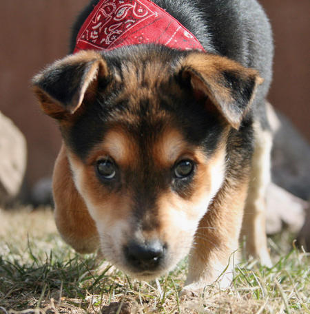 Cedar the Mixed Breed Pictures 550430
