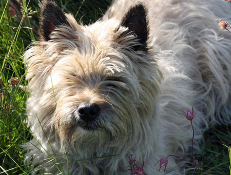 Ceilidh the Cairn Terrier Pictures 1057293