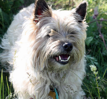 Ceilidh the Cairn Terrier Pictures 1057294