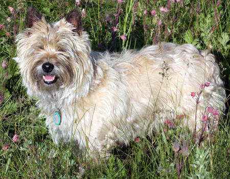 Ceilidh the Cairn Terrier Pictures 1057296