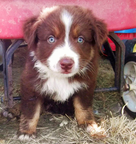 Cessna the Australian Shepherd Pictures 978858