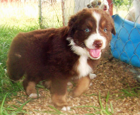 Cessna the Australian Shepherd Pictures 978862