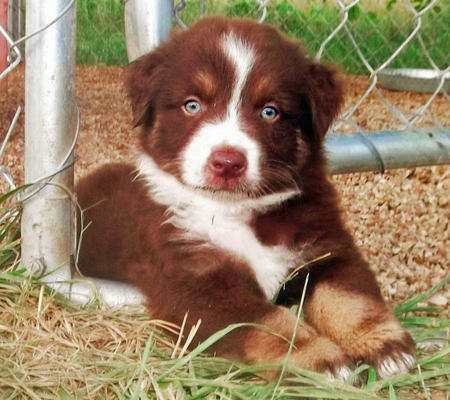 Cessna the Australian Shepherd Pictures 978857