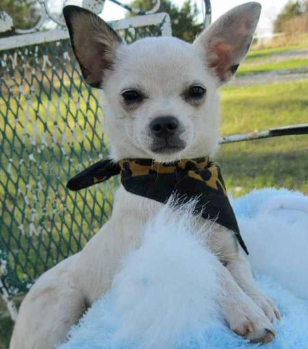 Chalupa the Adoptable Chihuahua Pictures 776376