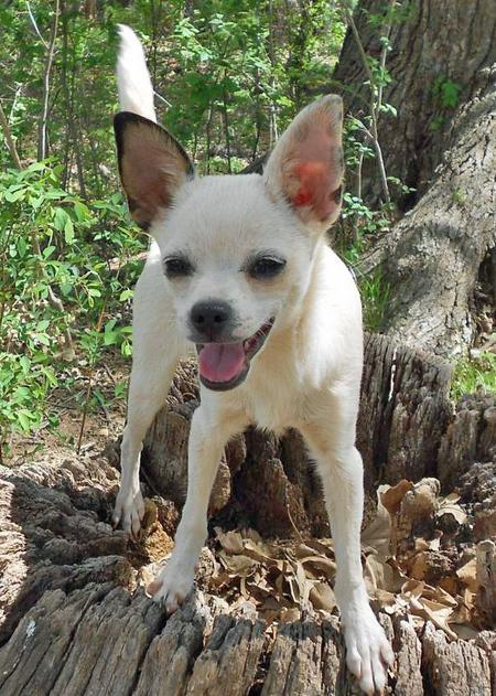 Chalupa the Adoptable Chihuahua Pictures 776372