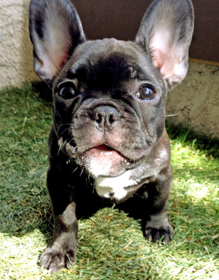 Champagne the French Bulldog Pictures 1045790