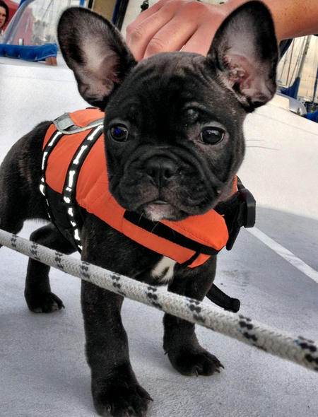 Champagne the French Bulldog Pictures 1045791