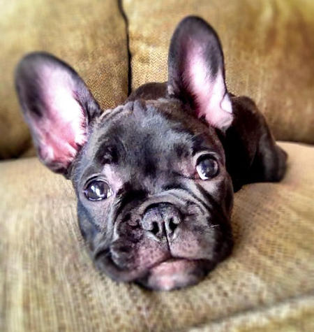 Champagne the French Bulldog Pictures 1045793