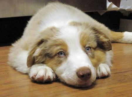Chance the Australian Shepherd Pictures 979347