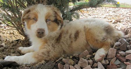 Chance the Australian Shepherd Pictures 979350