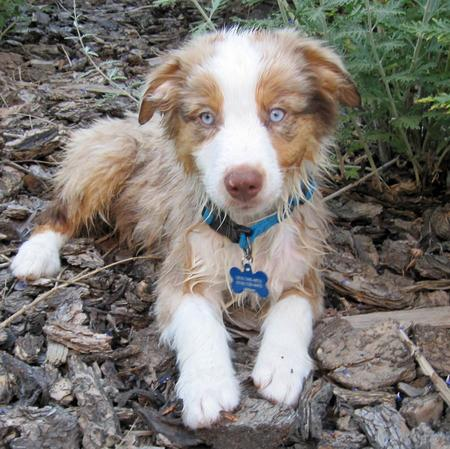 Chance the Australian Shepherd Pictures 979351