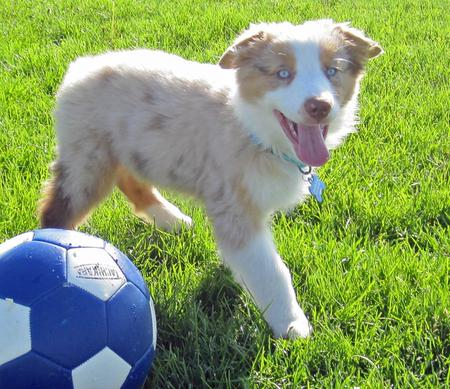 Chance the Australian Shepherd Pictures 979353