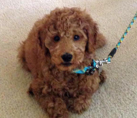 Chance the Goldendoodle Pictures 999867