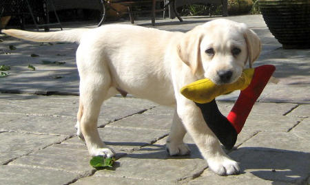 Chandler the Labrador Retriever Pictures 561741