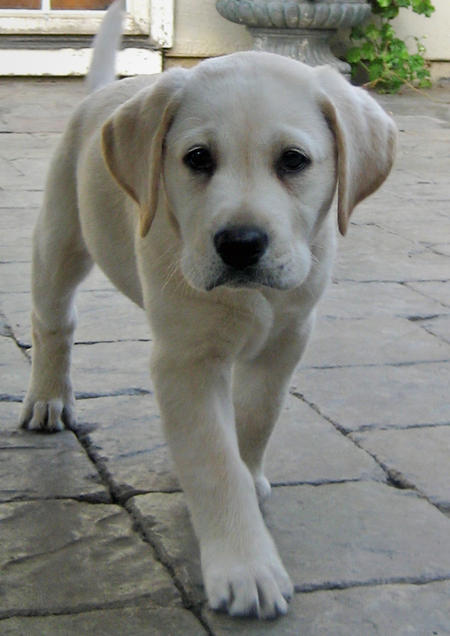 Chandler the Labrador Retriever Pictures 561745