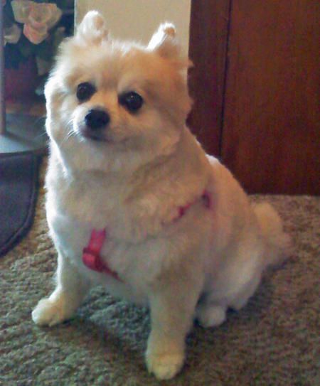 Chanel the Pomeranian Pictures 1051700