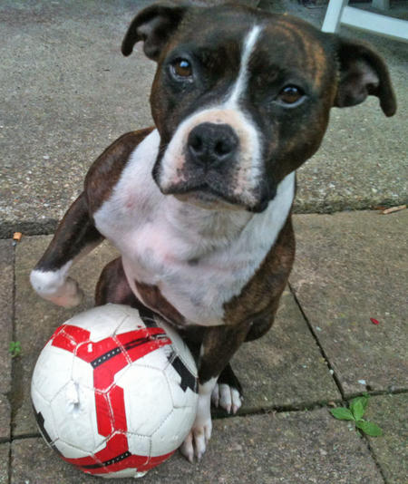 Chaos the Staffordshire Bull Terrier Pictures 929479