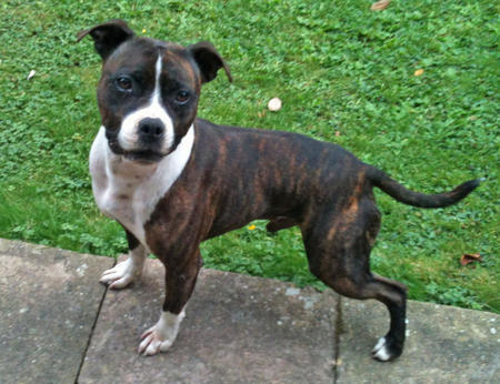 Chaos the Staffordshire Bull Terrier Pictures 929480