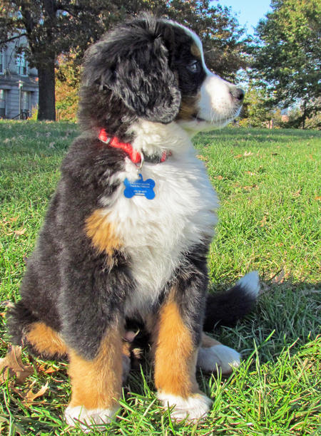 Charles the Bernese Mountain Dog Pictures 850165