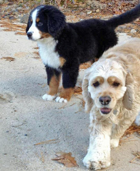 Charles the Bernese Mountain Dog Pictures 850169