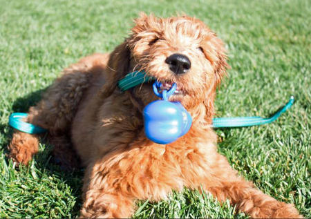 Charlie Brown the Goldendoodle Pictures 997187