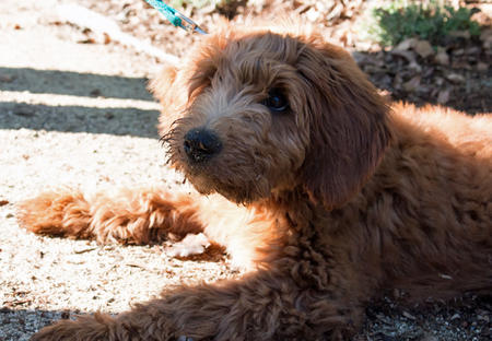 Charlie Brown the Goldendoodle Pictures 997188