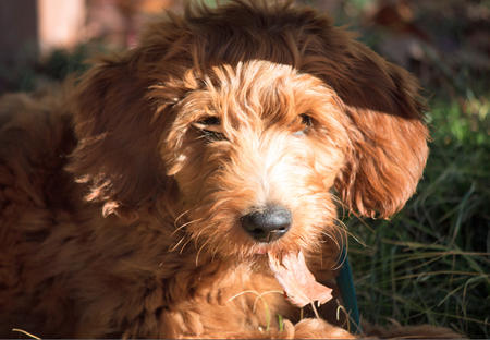 Charlie Brown the Goldendoodle Pictures 997190