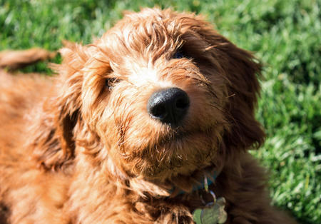 Charlie Brown the Goldendoodle Pictures 997191