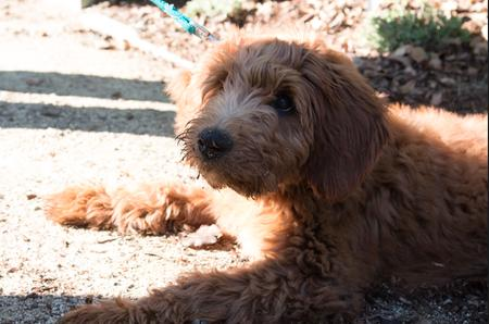 Charlie Brown the Goldendoodle Pictures 997195