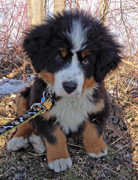 Charlie the Bernese Mountain Dog Pictures 1054054