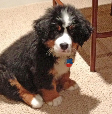 Charlie the Bernese Mountain Dog Pictures 724162