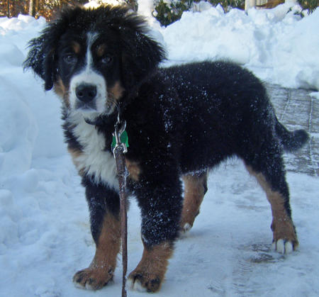 Charlie the Bernese Mountain Dog Pictures 724166