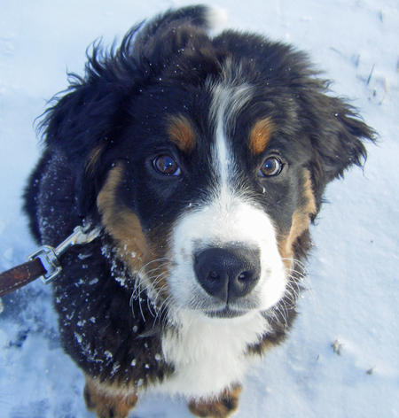 Charlie the Bernese Mountain Dog Pictures 724160