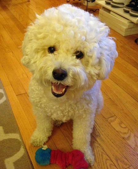Charlie the Bichon Frise Mix Pictures 1008981