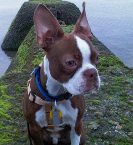 Charlie the Boston Terrier Pictures 1027617