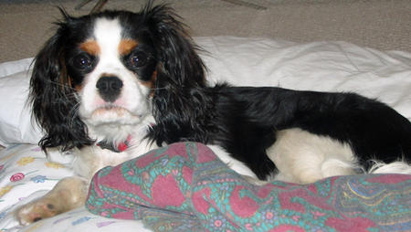 Charlie the Cavalier King Charles Spaniel Pictures 882355