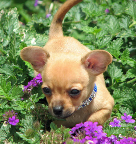 Charlie the Chihuahua Mix Pictures 1045989