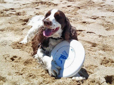 Charlie the English Springer Spaniel Pictures 1017359