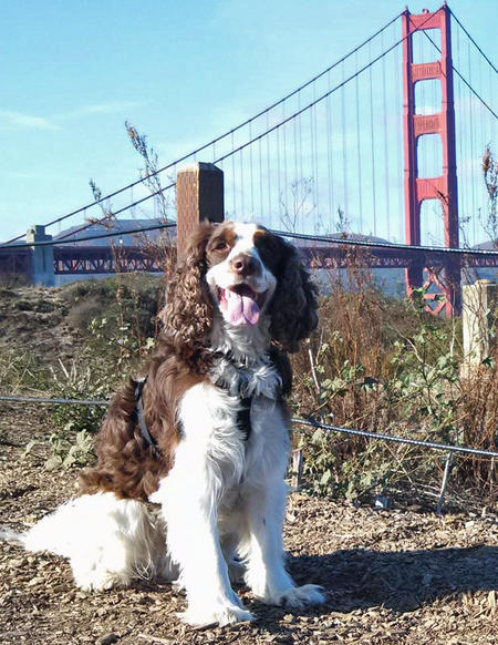 Charlie the English Springer Spaniel Pictures 1017360