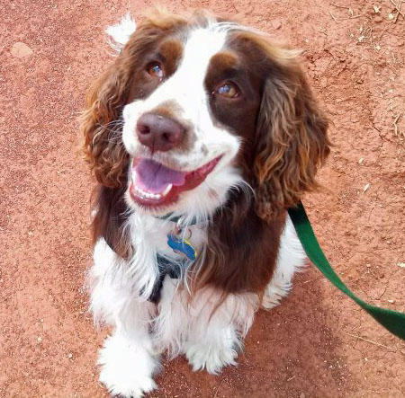 Charlie the English Springer Spaniel Pictures 1017361