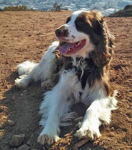 Charlie the English Springer Spaniel Pictures 1017363