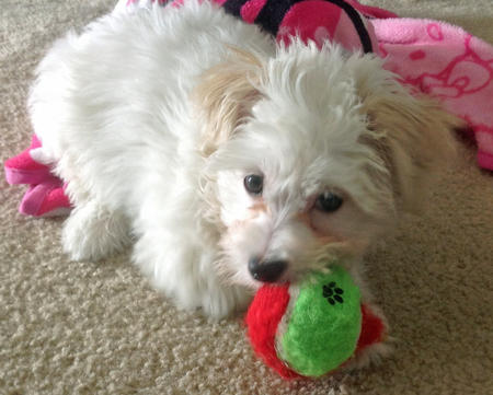 Charlie the Maltese Mix Pictures 957411