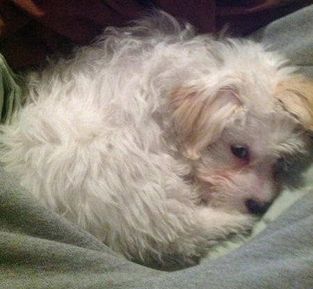 Charlie the Maltese Mix Pictures 957414
